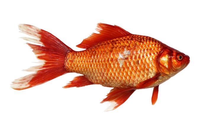 Goldfisch-2